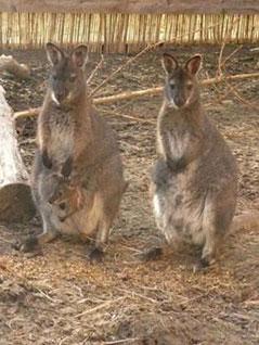 Känguruhs im Waldviertel