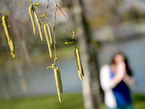 Pollen hängen am Dienstag, 16. April 2013, von den Ästen einer Birke in einem Park in Wien.