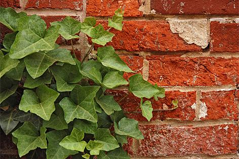 Efeu Pflanze Zimmerpflanze Garten
