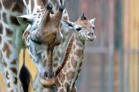 Giraffen-Baby