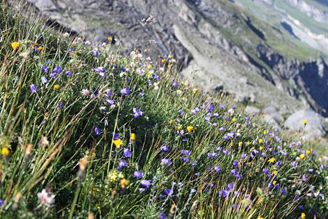 Alpenboden Almwiese Blumen Wiesenblumen Wiese