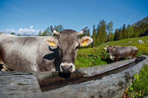 Kühe bei Wassertränke auf Alm