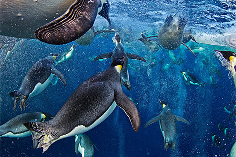 World Press Photo 2013: Paul Nicklen, Kanada, National Geographic