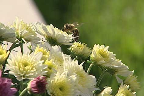 Chrysanthemen mit Biene