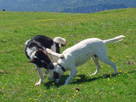 Hunde kämpfen