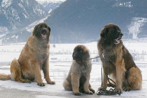 Drei Leonberger im Schnee