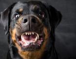 Hund Rottweiler Retter