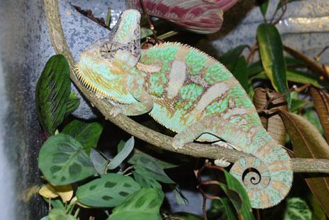 Chamäleon Männchen
