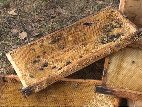 Zerstörte Bienenwaben