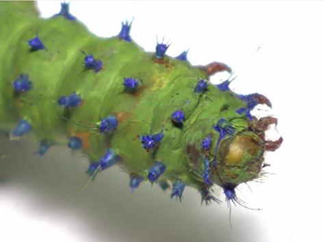 Grüne Schmetterlings-Raupe