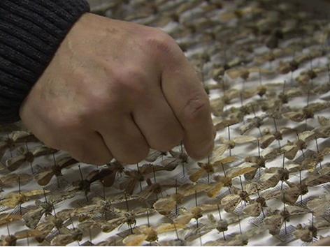 Schmetterlingspräparate des Kärntner Landesmuseums