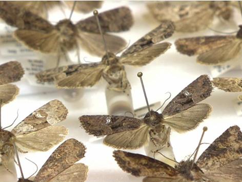 Schmetterlingspräparat