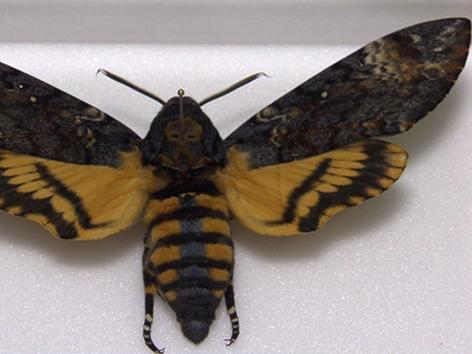Schmetterlingspräparat Totenkopfschwärmer