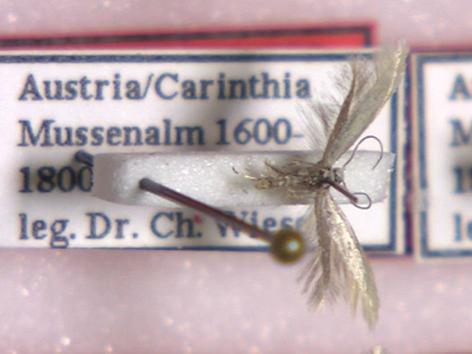Schmetterlingspräparat Elachista Wieseriella