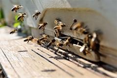 Bienen vor Bienenstock