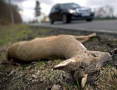 Im Straßenverkehr getötetes Reh