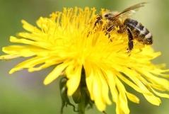 Biene sitzt auf Löwenzahn