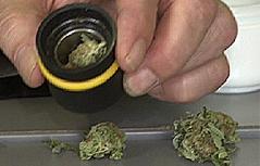 Cannabis Hanf Marihuana THC Haschisch Drogen