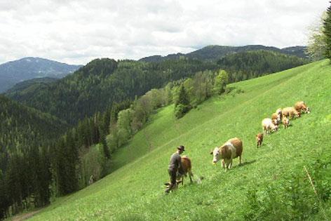 Almwiese Kühe Landwirt
