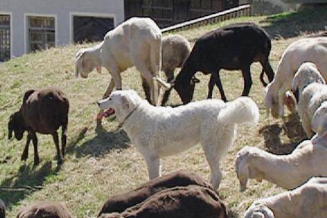 Herdenhund zum Schutz von Schafen, Maremmen-Abruzzen-Schäferhund