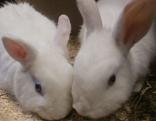 Zwei junge weiße Kaninchen