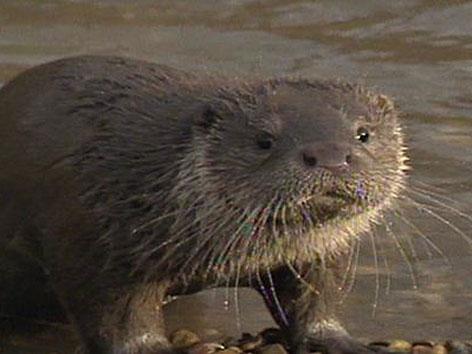 Fischotter verursacht Schäden in Fischgewässern