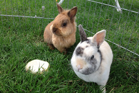 Zwei Kaninchen im Freigehege