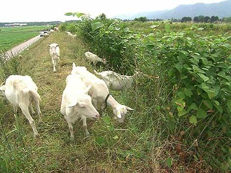 Ziegen Schafe Neophyten ÖBB