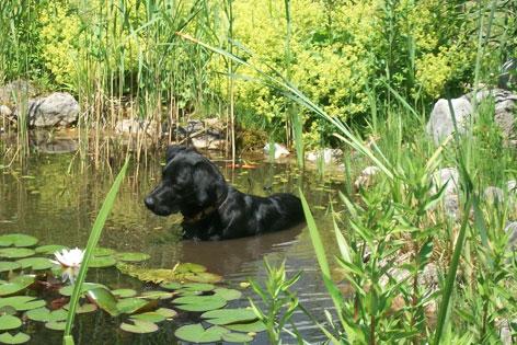 Hund im Teich