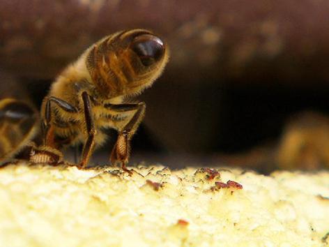 Bienen, Braunelle, Falkeis