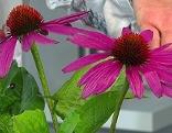 Blüt der Echinacea - roter Sonnenhut