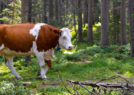 Kuh im Wald bei Seefeld