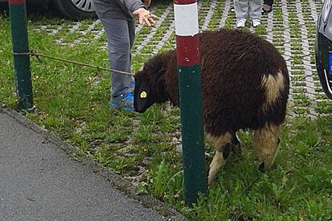 Angepflocktes Schaf in Kaprun