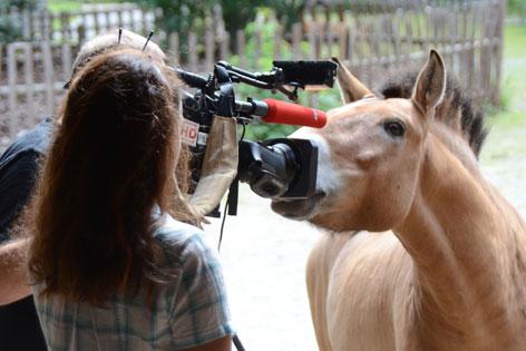 Przwalskihengst vor der ORF Kamera