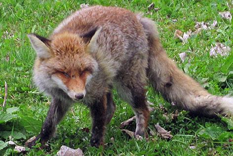 An Staupe erkrankter Fuchs