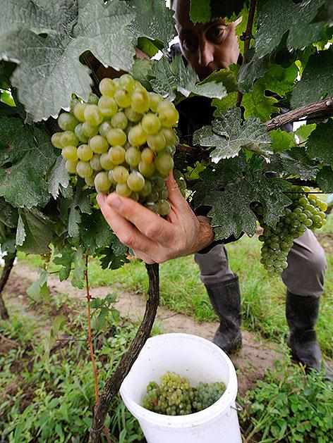 Winzer beim Abschneiden von Weintrauben