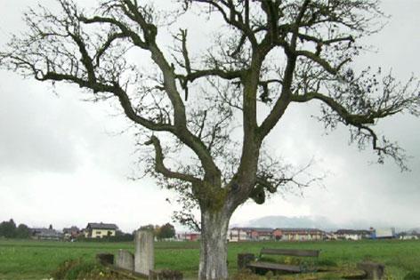Der Walser Birnbaum