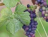 Weinrebe, Weintraube, Weinstrock
