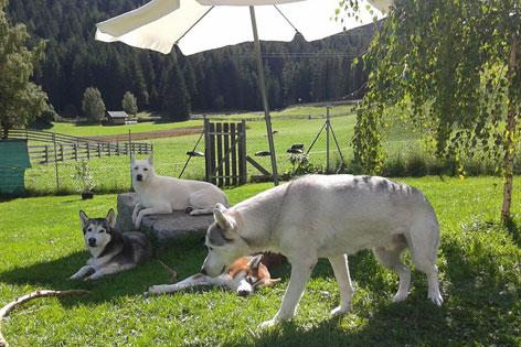 Mehrere Hunde Halten Radio Tirol