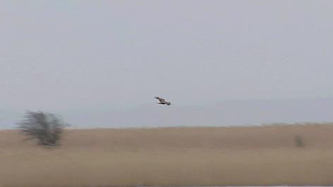 Kaiseradler, Seeadler