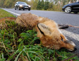 Toter Fuchs am Straßenrand