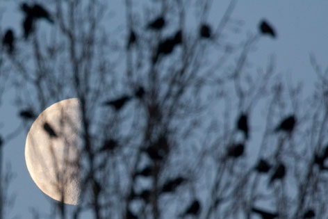 Krähen im Baum bei Vollmond