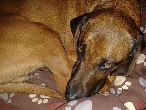 Hund Ares liegt wieder wohlbehalten auf seinem Platz