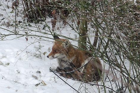 Fuchs in Garten in Hietzing