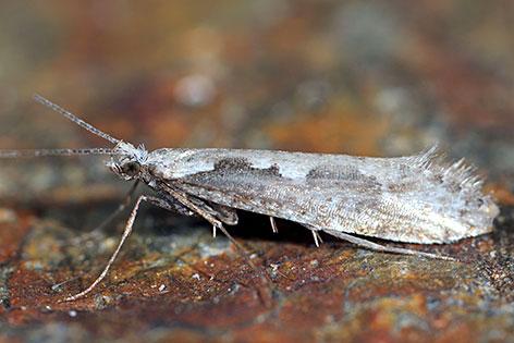 Schmetterlinsart entdeckt Rhigognostis Scharnikensis Kreuzeck Wieser Elachista Wieseriella