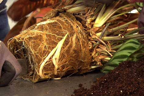 Wurzelballen einer Topfpflanze