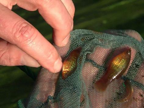 Herausgefischte Tropenfische aus dem Warmbach in Handfläche