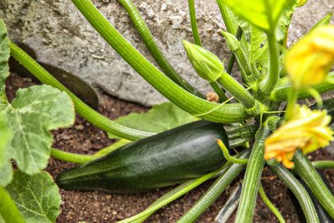 Zucchinipflanze