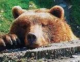Wildtiere Weißensee Bär Luchs Sorger - nicht verwenden!