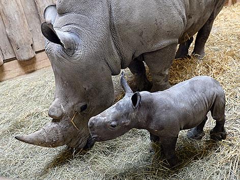 Nashornbaby Nashorn Nachwuchs Zoo Salzburg